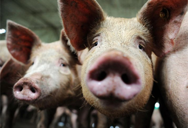 Pigs are seen at a swine farm in Rio Negro, outkirts of Medellin, Colombia on April 28,2009. An outbreak of deadly swine flu in Mexico and the United States has raised the specter of a new virus against which much of humanity would have little or no immunity. The outbreak of the new multi-strain swine flu virus transmitted from human to human that has killed up to 149 people in Mexico is a 'serious situation' with a 'pandemic potential', the head of the World Health Organization said Saturday. By Raul Arboleda/AFP/Getty Images.